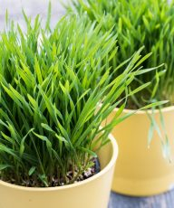 How to grow Wheatgrass, make wheatgrass juice, health benefits and side effects //// Vegan Family Recipes #healthy #superfood