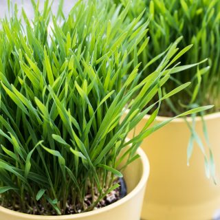 Wheatgrass Juice – How to make and grow, benefits, side effects