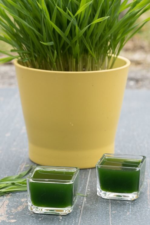 Wheatgrass Juice and shots, how to make and how to grow wheatgrass, side effects, health benefits - VeganFamilyRecipes.com #healthy #superfood